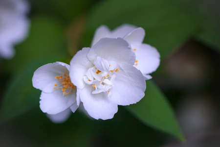 procesed: Jasmine flowers with green leaves on cloudy day