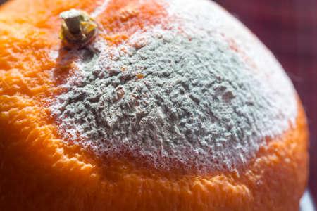 putrefy: Nice grey mould on fresh big orange Stock Photo