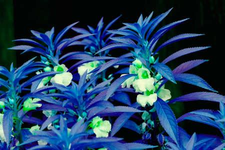 balsam: Beauty flower garden balsam in blue colors as art object Stock Photo