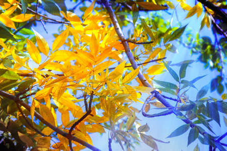 Beauty yellow autumn leaves on background of blue sky with sun rays photo