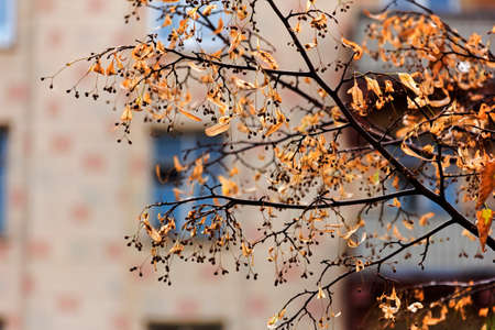 Autumn branches of lime trees on background of city blurred landscape photo