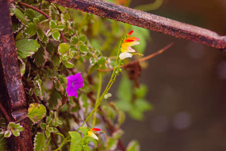 rusty fence: Beautiful fresh flowers at old rusty fence day