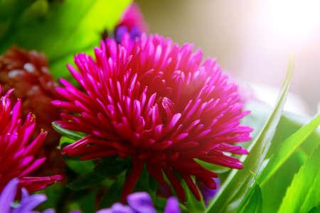 astra: Luxury purple blossom autumn astra for present Stock Photo