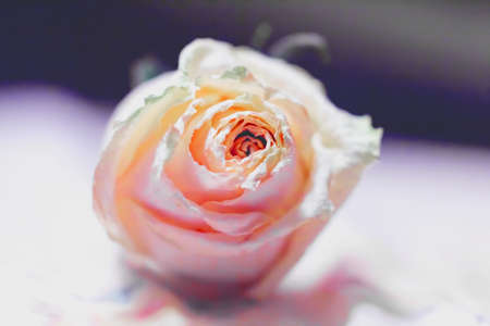 in loving memory: Beauty tender dried pale pink rose at background