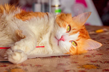 imperturbable: Red cat with dreamy look relaxed lying on table
