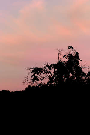 pink sunset: Beauty pink sunset sky and tree tops