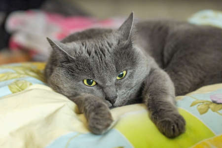 brooding: Nice brooding grey cat lying on bed