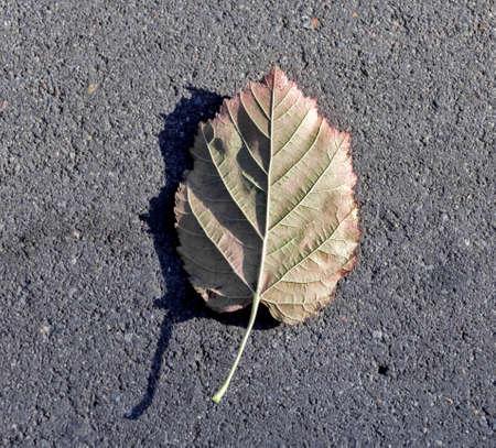 wind down: Leaf of tree on gray asphalt on sunny autumn day Stock Photo