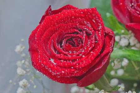 Blooming beautiful red rose with water drops Stock Photo