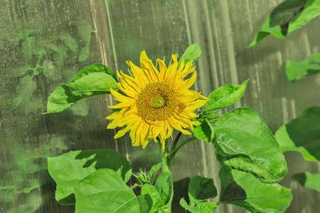 revealed: Beautiful big yellow revealed sunflower at day