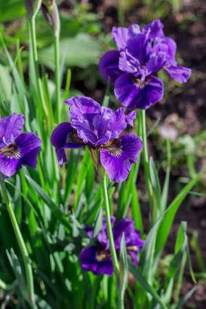 purple irises: Beautiful purple irises in sunny summer garden Stock Photo