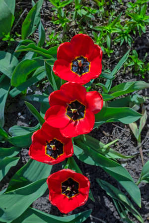 Nice red opened tulips sunny spring day Stock Photo - 116797143