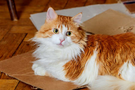 Red cat lying on cardboard and listens carefully photo