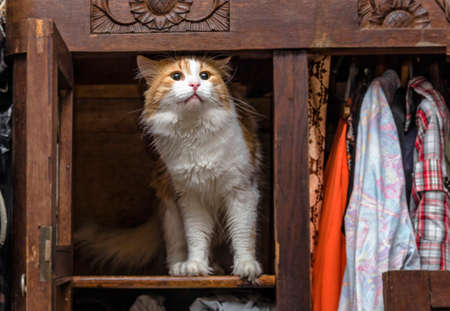 proudly: Red-white cat in old closet proudly stands