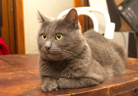 brooding: Adult brooding gray cat on wooden brown table