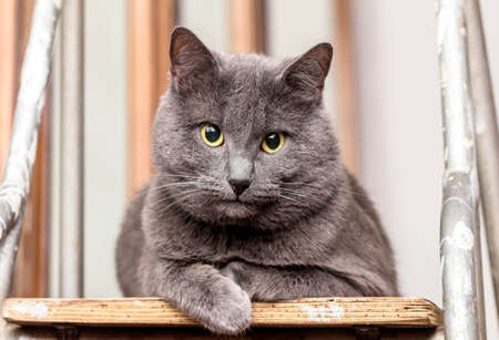 stepladder: Adult beautiful grey cat on stepladder in room