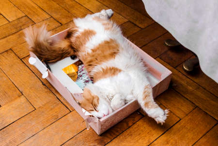 animal image: Nice big adult ginger and white cat sleeping in box Stock Photo