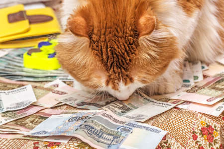 roubles: Nice red cat sniffs banknotes of russian roubles