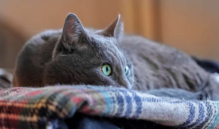 grey cat: Nice adult grey cat with watchful eye