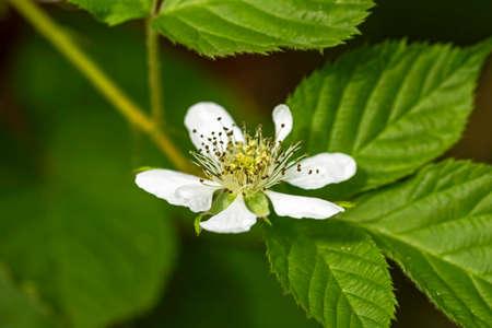 big flower: Nice big  flower of blackberry in summer garden