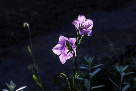 lilla: Nice lilla garden campanula flowers bell in sunset Stock Photo