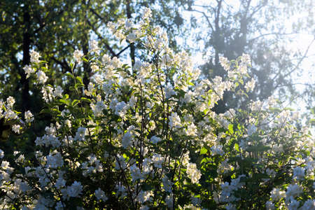 tree jasmine: Nice summer lush jasmine tree lit by sun Stock Photo