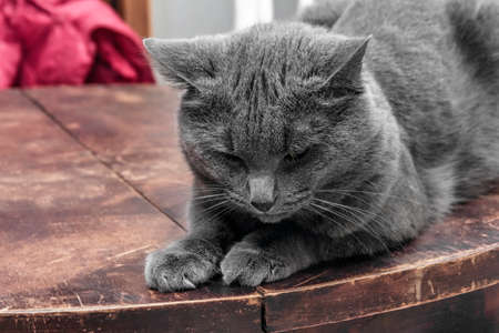 brooding: Brooding grey cat on old brown wooden table