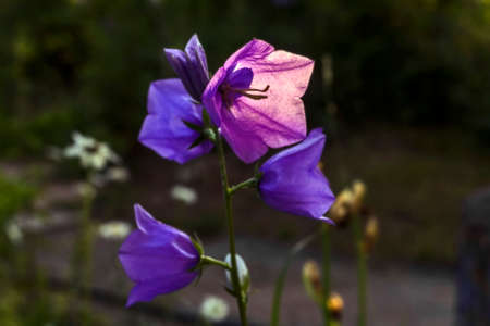lilla: Nice blue and lilla garden campanula flowers bell in sunset Stock Photo