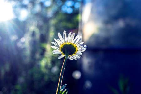 jardines con flores: Niza manzanilla jard�n en sol de la tarde antes del crep�sculo Foto de archivo