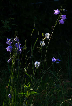 campanula: Nice blue and white garden campanula flowers bell in sunset Stock Photo