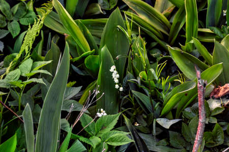 thicket: White spring Lily-of-the-valley in green thicket of grass and plants
