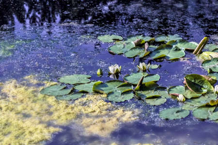 marsh plant: Nice blooming water lilies on water on summer day
