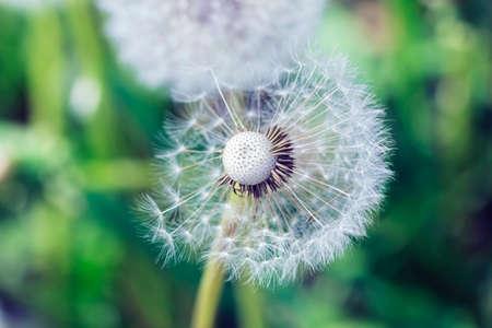 scatters: Big nice white dandelion scatters in summer garden Stock Photo