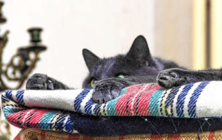 grey cat: Paws and ears grey cat on blanket