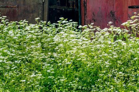 lonelyness: Aegopodium podagraria, white flowers in nice summer landscape