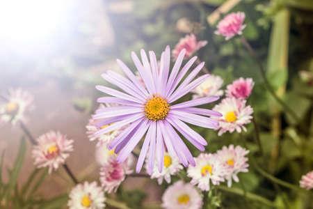 garden flowers: Nice daisy alpinus lilla flower in summer garden