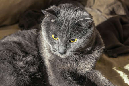 centered: Nice centered grey cat with yellow eyes