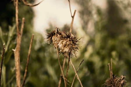 sere: Beauty dry autumn burr at cloudy day