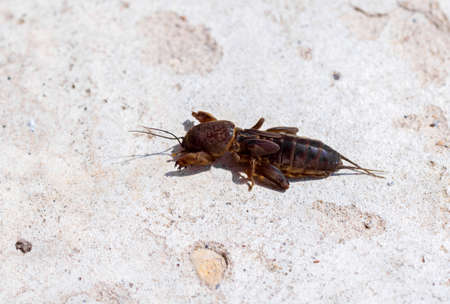 saboteur: Gryllotalpidae, insect of fauna at sunny day on light background