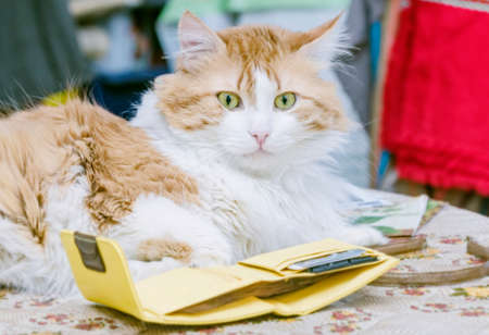 orenge: Orenge cat and yellow purse in light room Stock Photo