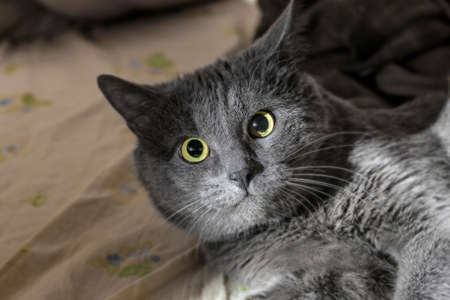 stunned: Beauty big stunned grey cat with yellow eyes Stock Photo