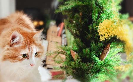 mimose: Nizza grande gatto rosso, rami di abete e mimose