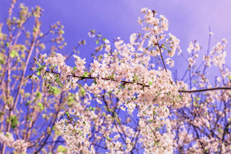 day flowering: Nice spring flowering branches of cherry at sunny day Stock Photo