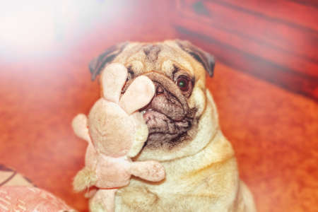 pug nose: Nice dog pug with toy in teeth