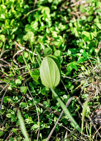 plantain: Beauty young sprout of plantain in spring grass