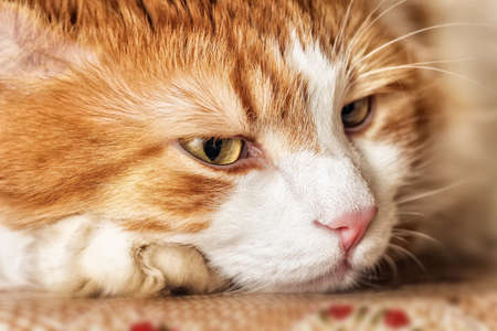 imperturbable: Portrait of thoughtful big red cat with yellow eyes Stock Photo