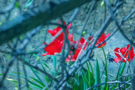 hojas de arbol: tulipanes rojos belleza a trav�s de ramas de los �rboles en un d�a soleado de primavera