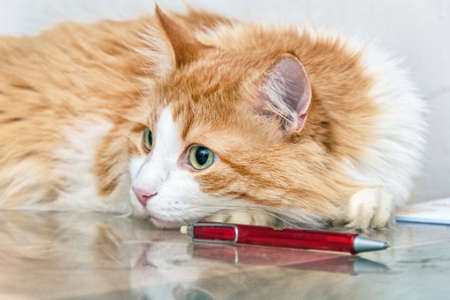 red pen: Big red cat lying on table with red pen