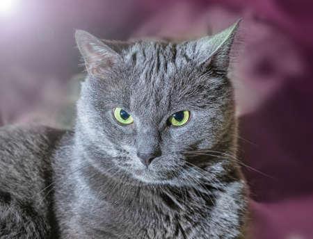 grey cat: Nice big grey cat with mysterious look Stock Photo