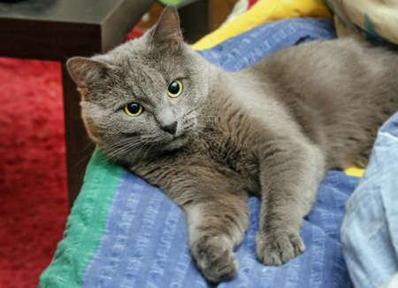 sprawled: Nice adult grey cat sprawled in bed